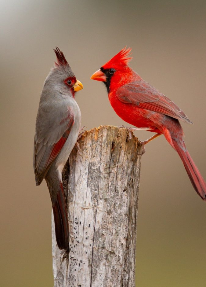 Northern-Cardinal.-675x939 Top 20 Most Beautiful Colorful Birds in The World
