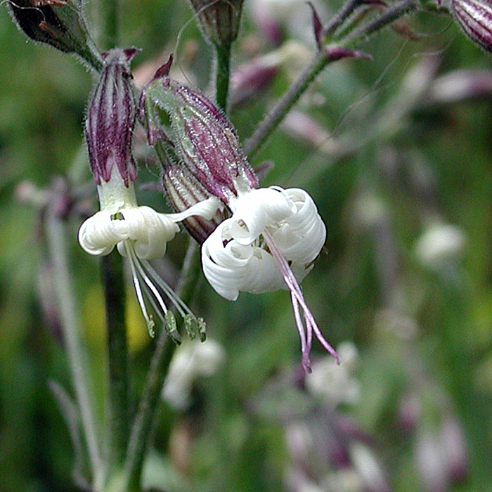 Nottingham-Catchfly-1 Top 10 Flowers that Bloom at Night