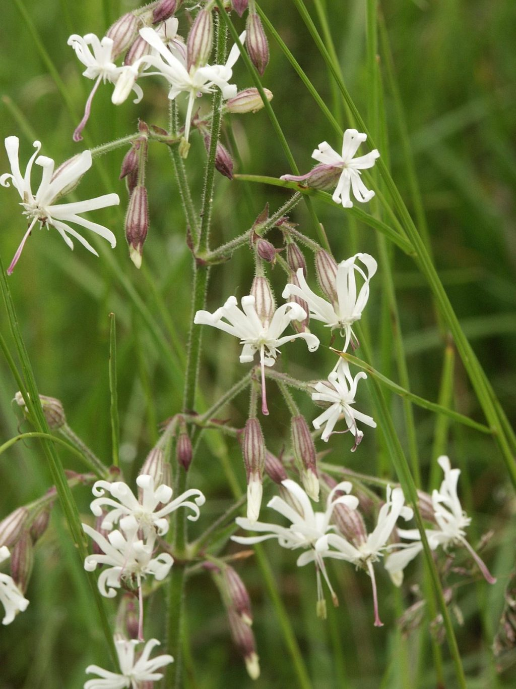 Nottingham-Catchfly..-2-1024x1365 Top 10 Flowers that Bloom at Night