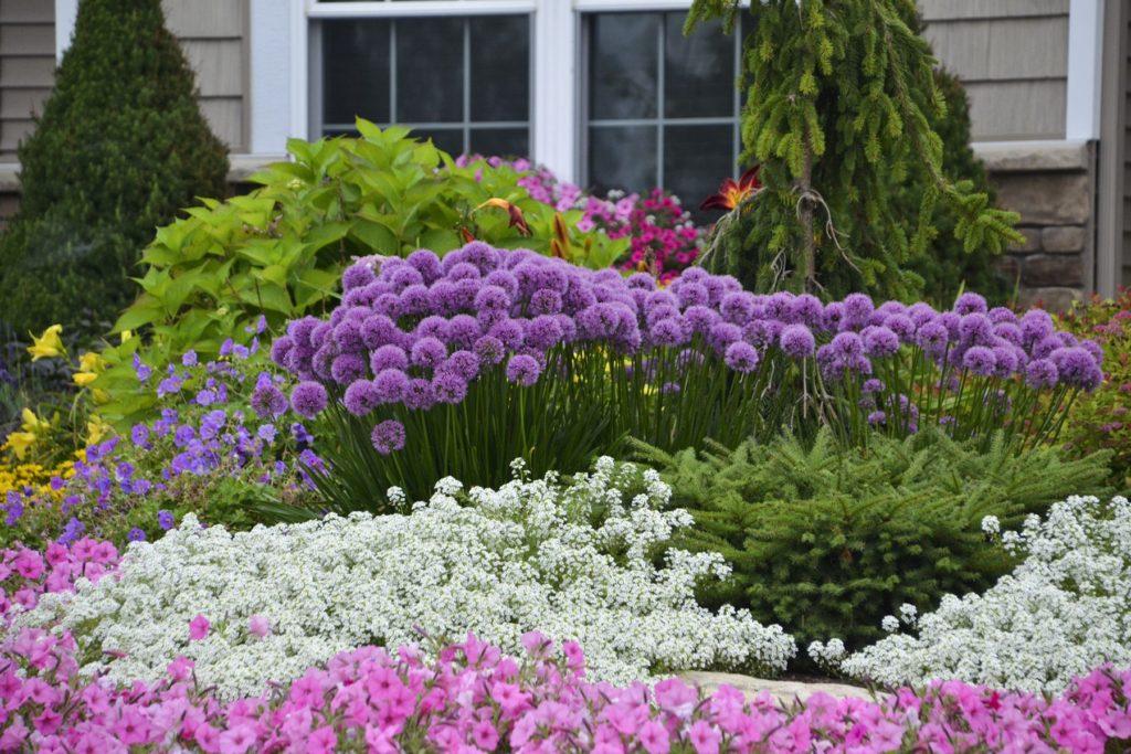 Ornamental-Onion-'Millenium.-1-1024x683 Top 10 Flowers that Bloom All Summer