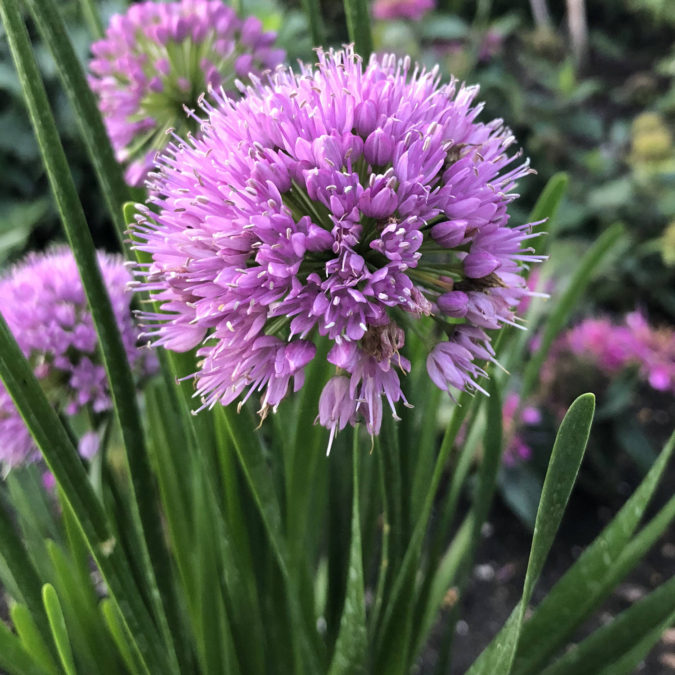 Ornamental-Onion-'Millenium.-675x675 Top 10 Flowers that Bloom All Summer