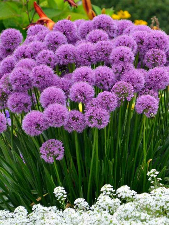 Ornamental-Onion-'Millenium Top 10 Flowers that Bloom All Summer