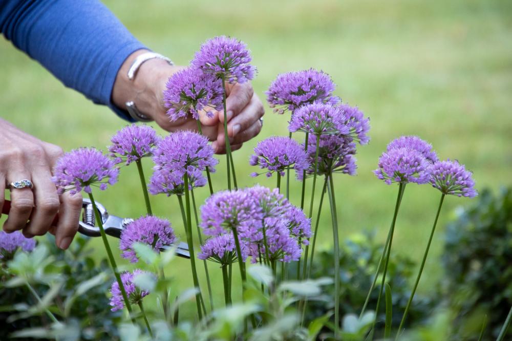Ornamental-Onion-'Millenium Top 10 Flowers that Bloom All Summer