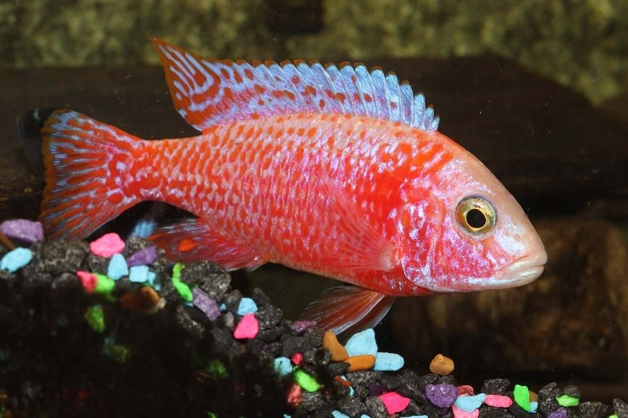 Peacock-cichlid-1 Top 10 Most Beautiful Colorful Fish Types