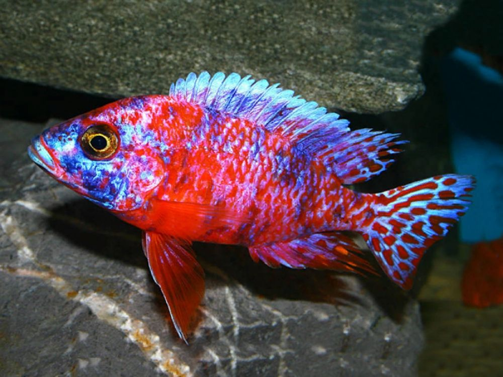 Peacock-cichlid.. Top 10 Most Beautiful Colorful Fish Types