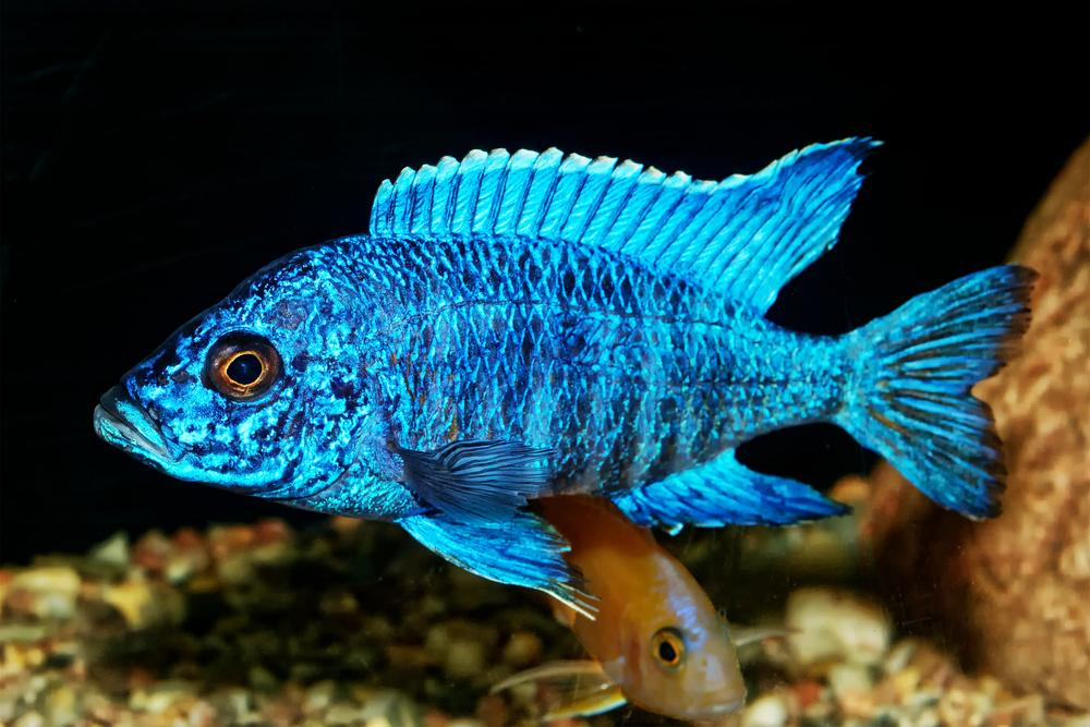 Peacock-cichlid. Top 10 Most Beautiful Colorful Fish Types