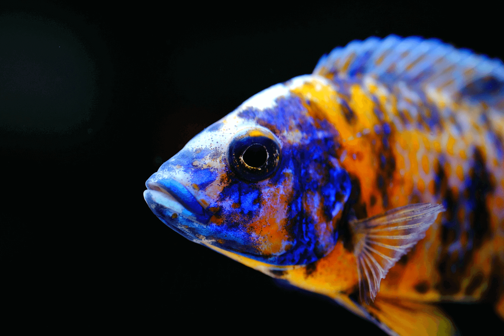 Peacock-cichlid Top 10 Most Beautiful Colorful Fish Types