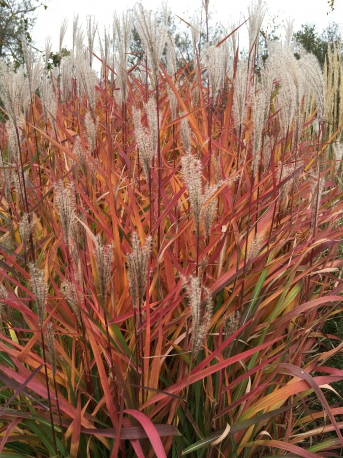 Purple-Flame-Grass-1-675x900 Top 10 Flowers that Bloom All Summer