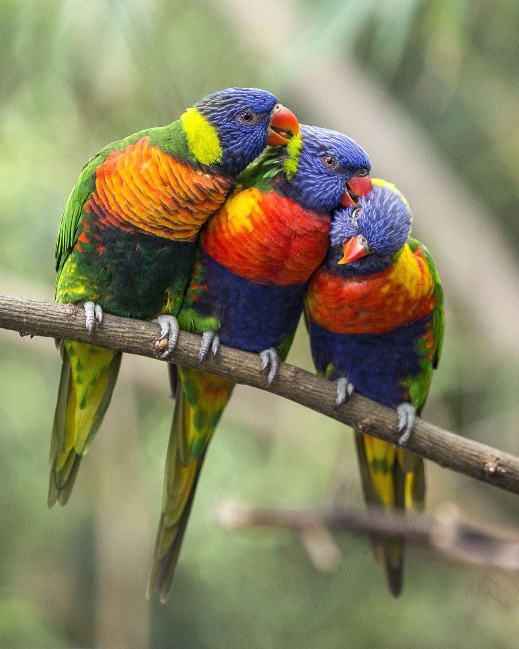 Rainbow-lorikeet-1-1024x1280 Top 20 Most Beautiful Colorful Birds in The World