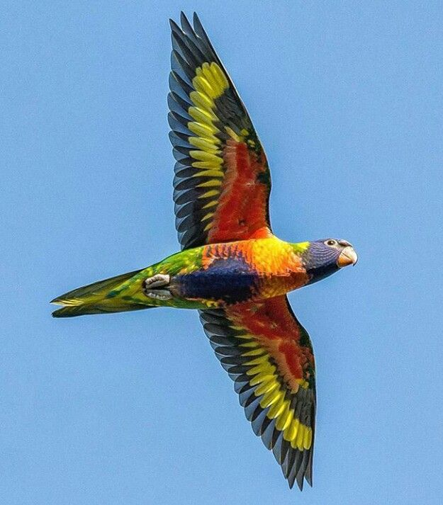 Rainbow-lorikeet.-3 Top 20 Most Beautiful Colorful Birds in The World