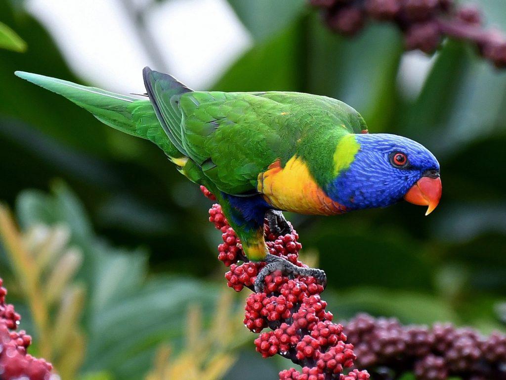 Rainbow-lorikeet..-1024x768 Top 20 Most Beautiful Colorful Birds in The World