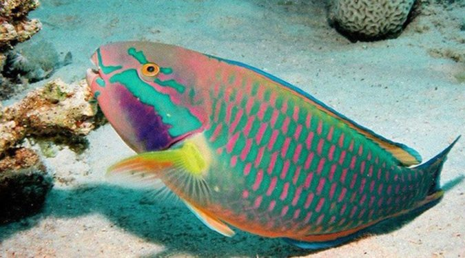 Rainbow-parrotfish-675x375 Top 10 Most Beautiful Colorful Fish Types