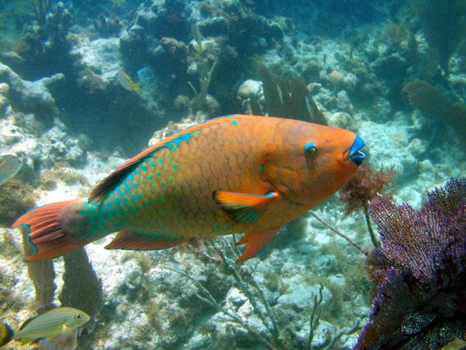 Rainbow-parrotfish.-675x506 Top 10 Most Beautiful Colorful Fish Types