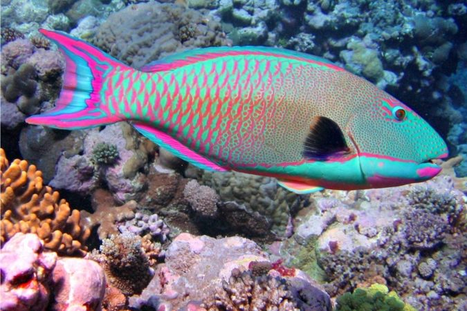 Rainbow-parrotfish..-675x450 Top 10 Most Beautiful Colorful Fish Types