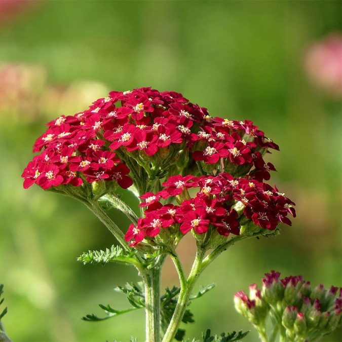 Red-Yarrow-675x675 Top 10 Flowers that Bloom All Summer