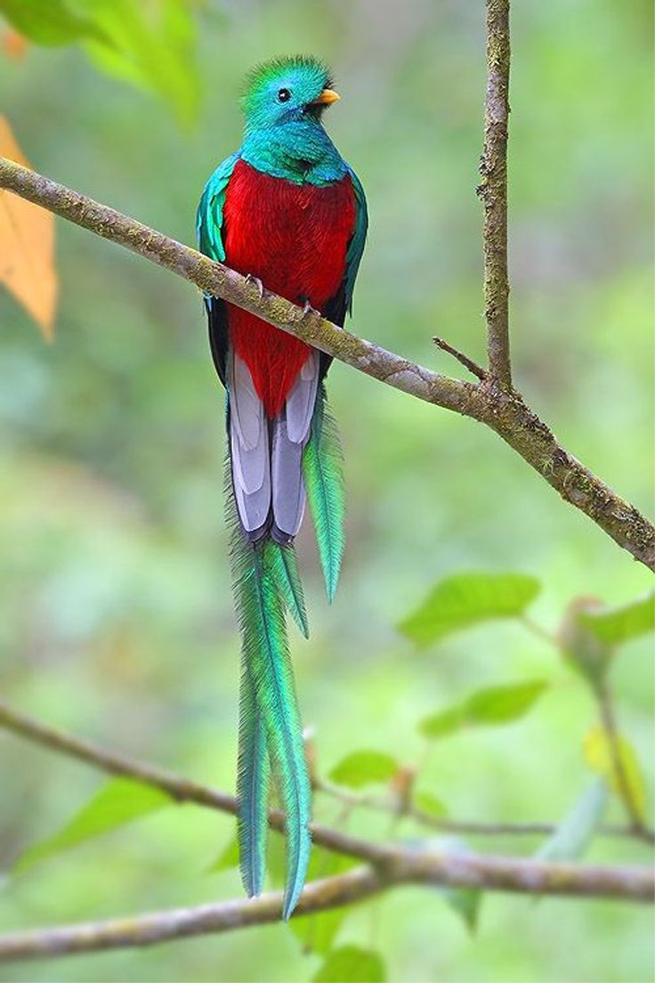 Resplendent-Quetzal. Top 20 Most Beautiful Colorful Birds in The World