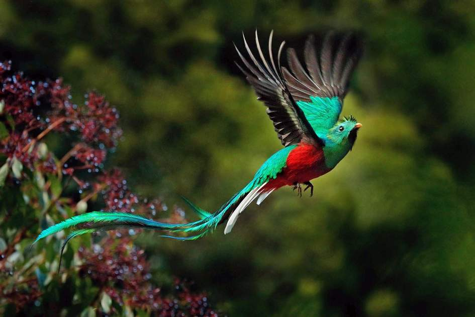 Resplendent-Quetzal Top 20 Most Beautiful Colorful Birds in The World