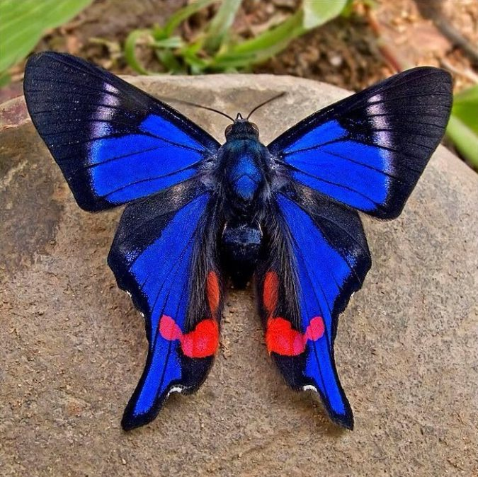 Rhetus-Periander.-1-675x674 Top 10 Most Beautiful Colorful Butterflies Species