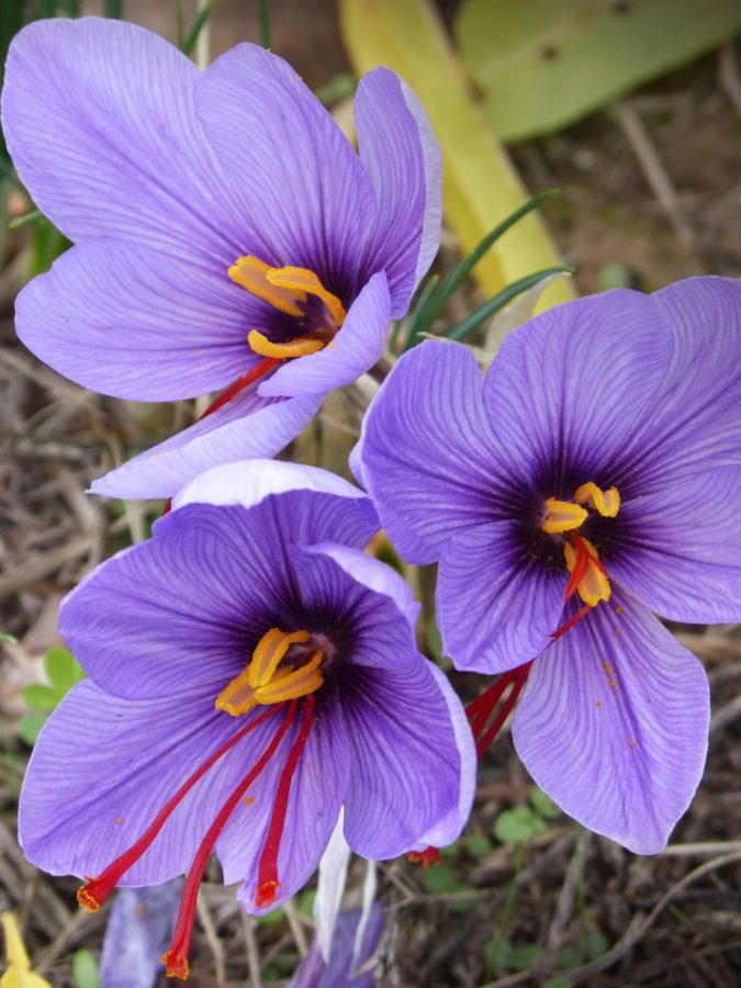 Saffron-Crocus-1-675x900 Top 10 Most Expensive Flowers in The World