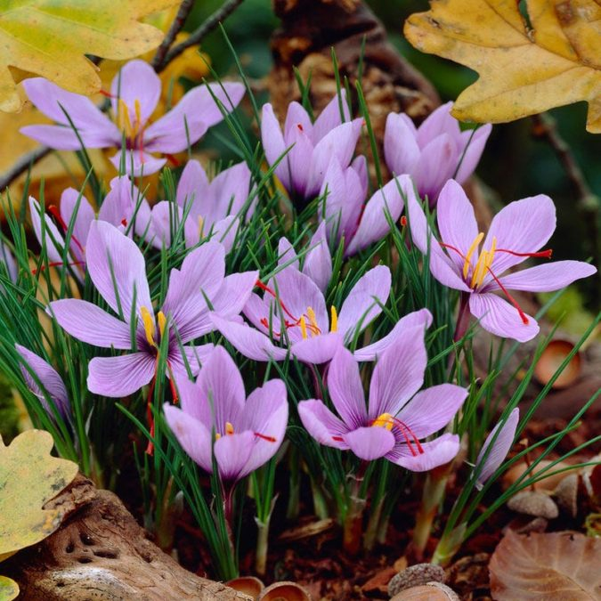 Saffron-Crocus-675x675 Top 10 Most Expensive Flowers in The World
