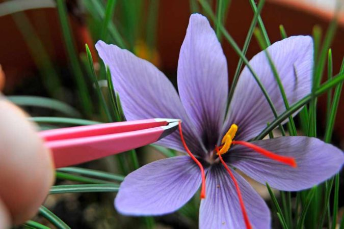 Saffron-Crocus.-1-675x450 Top 10 Most Expensive Flowers in The World