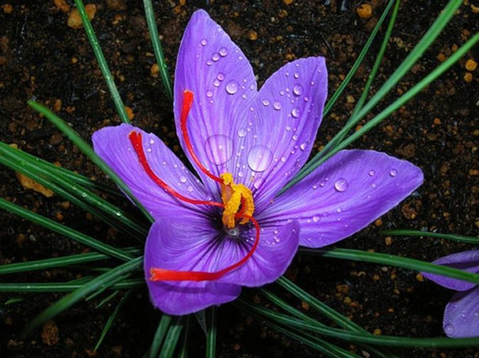 Saffron-Crocus.-675x505 Top 10 Most Expensive Flowers in The World