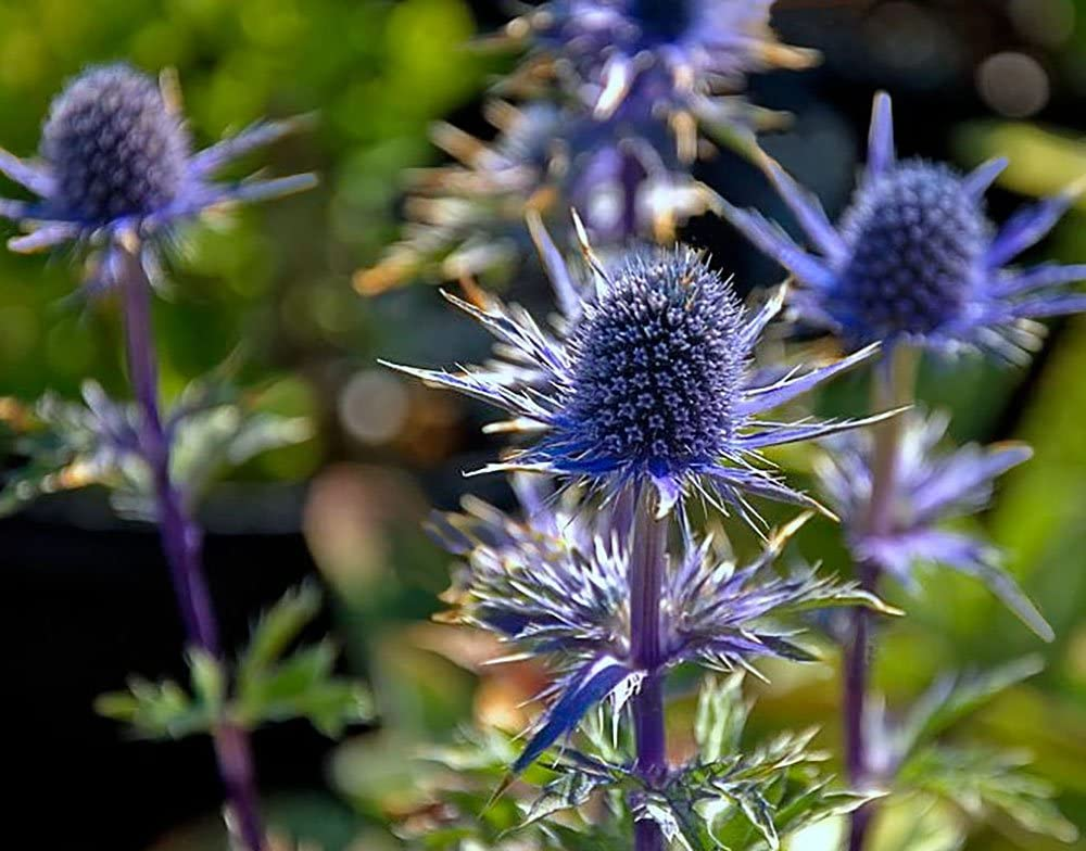 Sea-Holly.. Best 30 Bright Colorful Flowers for Your Garden