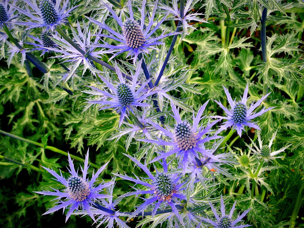 Sea-Holly. Best 30 Bright Colorful Flowers for Your Garden
