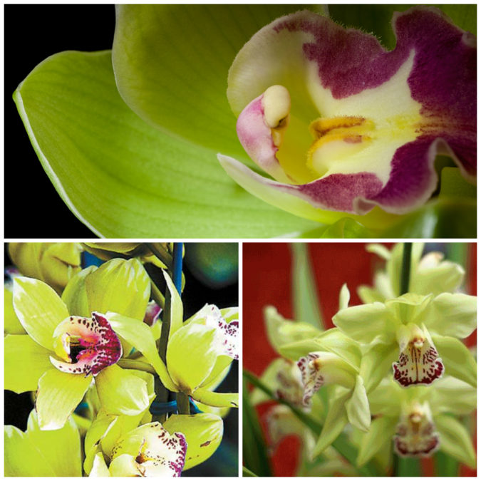Shenzhen-Nongke-Orchid.-675x675 Top 10 Most Expensive Flowers in The World