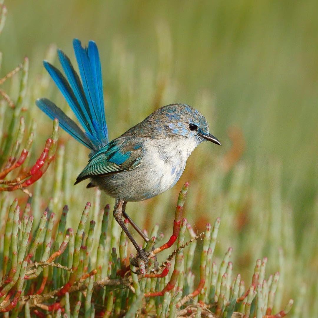 Splendid-fairy-wren-1 Top 20 Most Beautiful Colorful Birds in The World