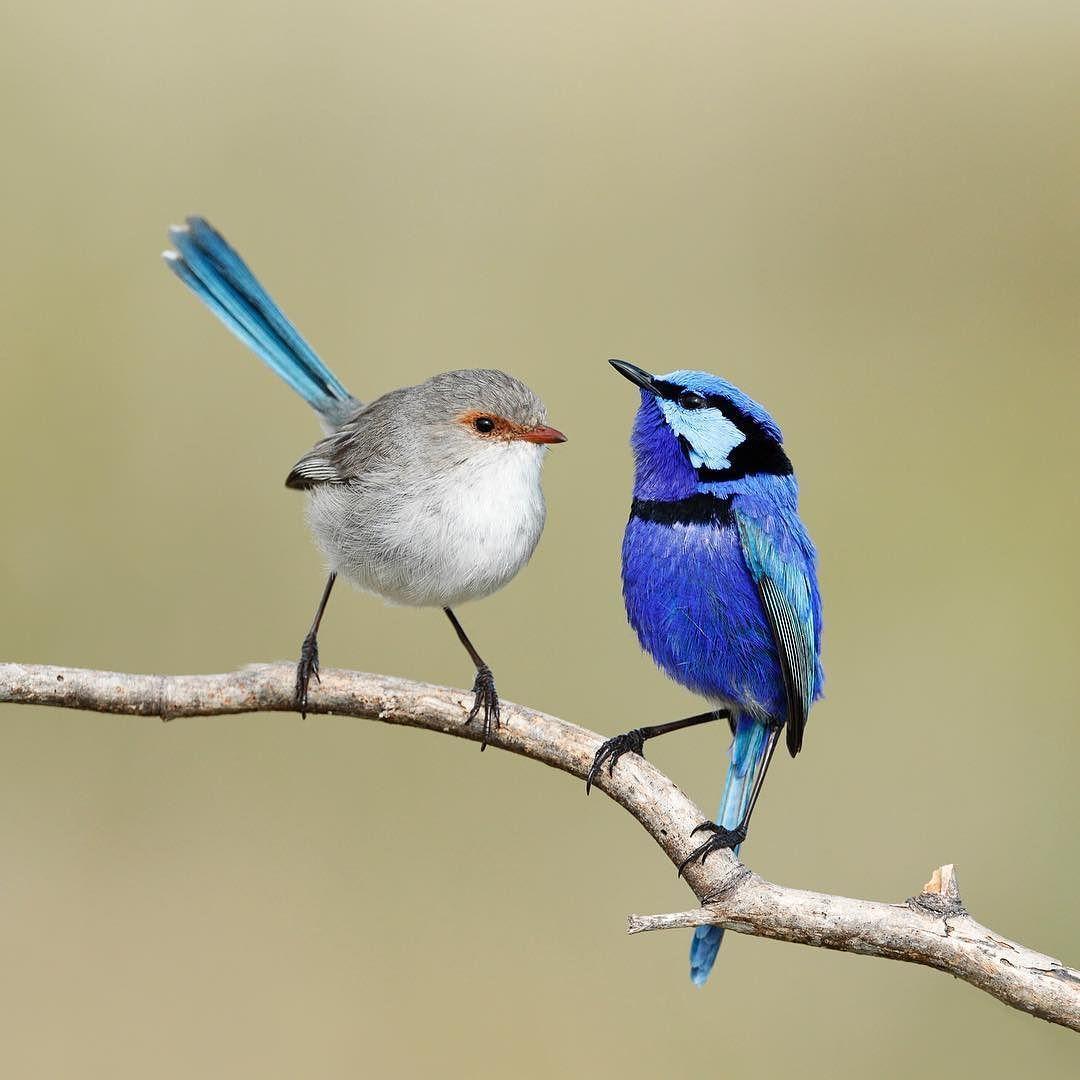 Splendid-fairy-wren.-1 Top 20 Most Beautiful Colorful Birds in The World