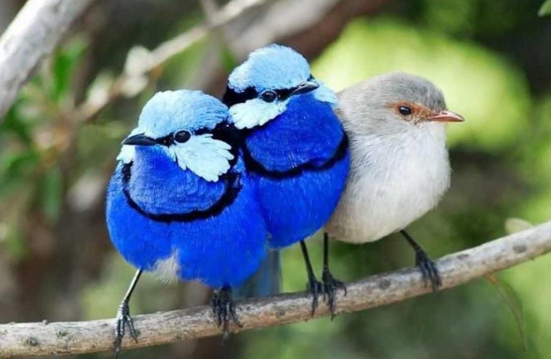 Splendid-fairy-wren.. Top 20 Most Beautiful Colorful Birds in The World