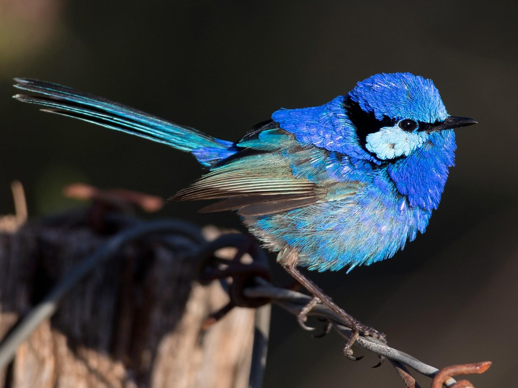 Splendid-fairy-wren Top 20 Most Beautiful Colorful Birds in The World