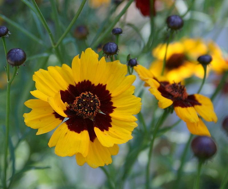 Tickseed. Best 30 Bright Colorful Flowers for Your Garden