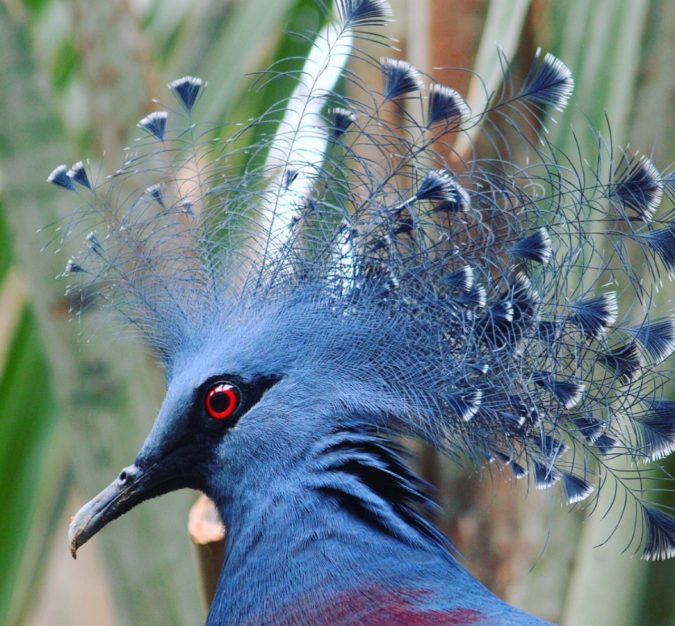 Victoria-crowned-pigeon-1-675x626 Top 20 Most Beautiful Colorful Birds in The World