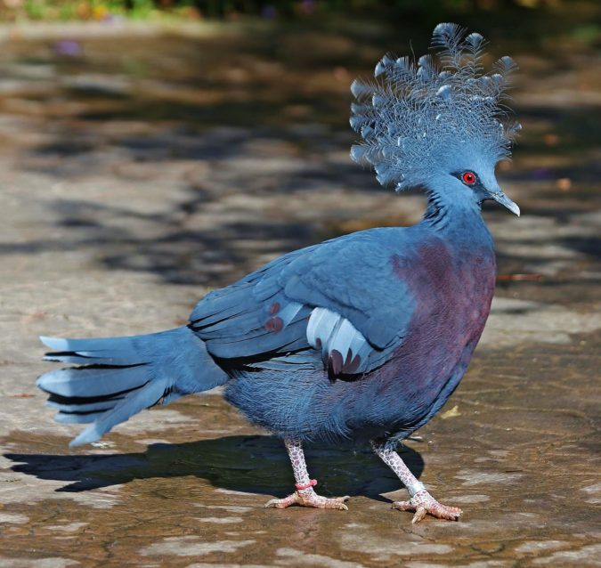 Victoria-crowned-pigeon-e1597404322540-675x638 Top 20 Most Beautiful Colorful Birds in The World