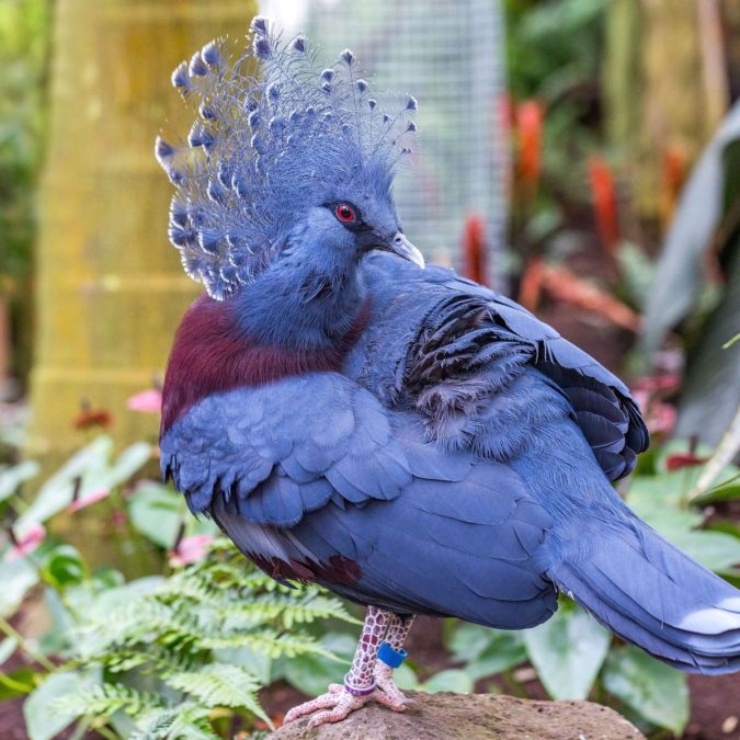 Victoria-crowned-pigeon.-675x675 Top 20 Most Beautiful Colorful Birds in The World
