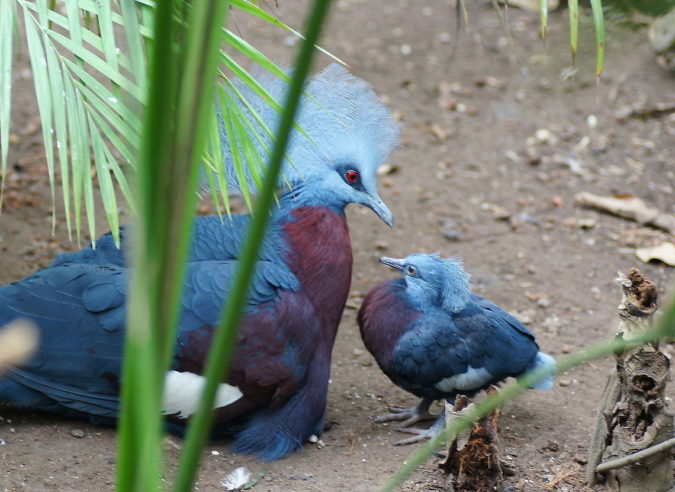 Victoria-crowned-pigeon..-675x492 Top 20 Most Beautiful Colorful Birds in The World
