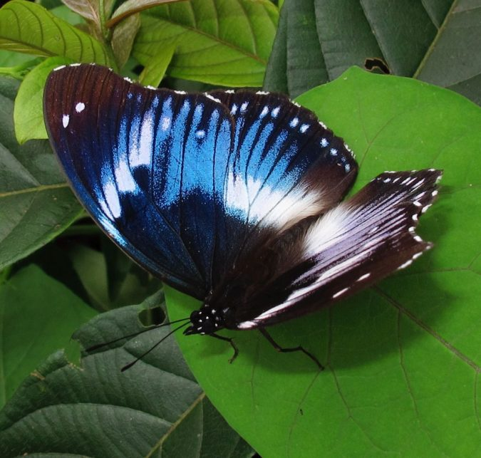 Western-Blue-Beauty-675x643 Top 10 Most Beautiful Colorful Butterflies Species