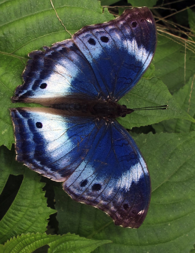 Western-Blue-Beauty.-675x874 Top 10 Most Beautiful Colorful Butterflies Species