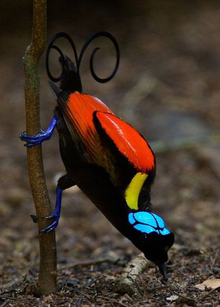 Wilsons-bird-of-paradise-2 Top 20 Most Beautiful Colorful Birds in The World