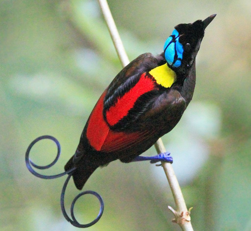 Wilsons-bird-of-paradise.-1 Top 20 Most Beautiful Colorful Birds in The World