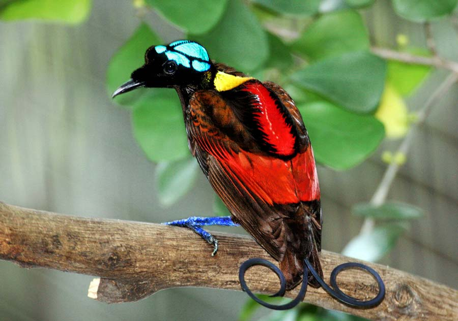 Wilsons-bird-of-paradise Top 20 Most Beautiful Colorful Birds in The World