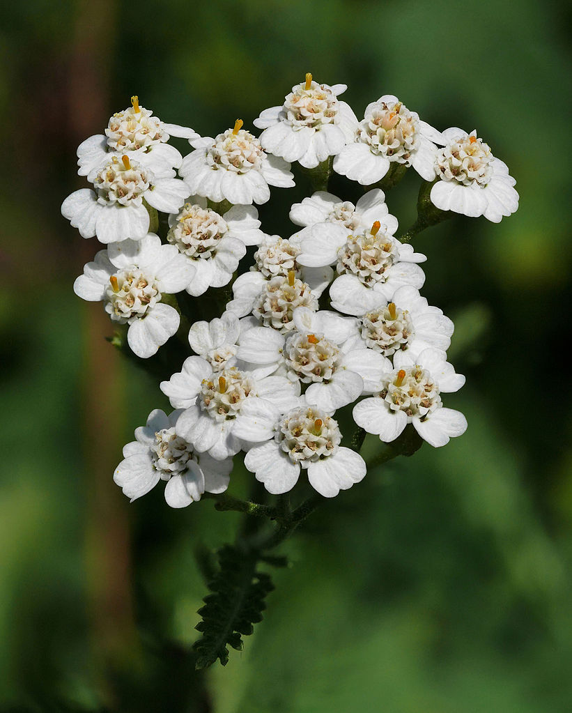 Yarrow-1 Best 30 Bright Colorful Flowers for Your Garden