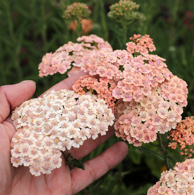 Yarrow-675x677 Top 10 Flowers that Bloom All Summer