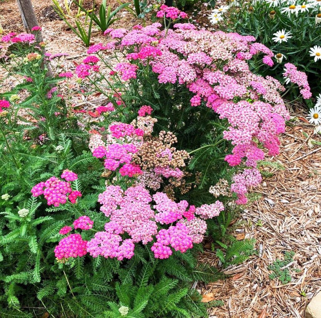 Yarrow.-1-1024x1014 Best 30 Bright Colorful Flowers for Your Garden