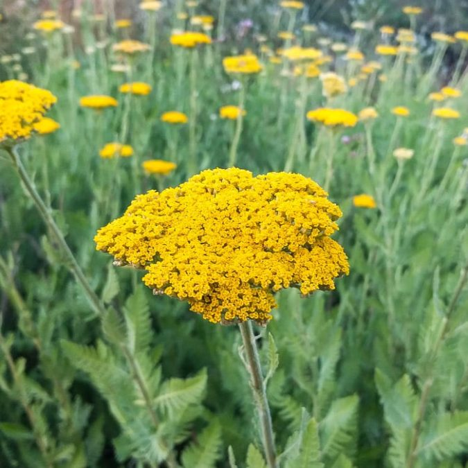 Yarrow.-675x675 Top 10 Flowers that Bloom All Summer
