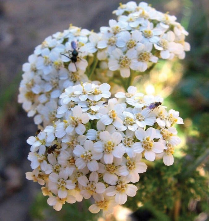 Yarrow..-1-675x713 Top 10 Flowers that Bloom All Summer