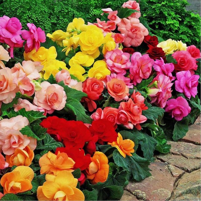 begonias-675x675 Best 30 Bright Colorful Flowers for Your Garden