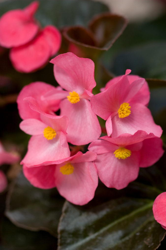 begonias.-675x1013 Best 30 Bright Colorful Flowers for Your Garden